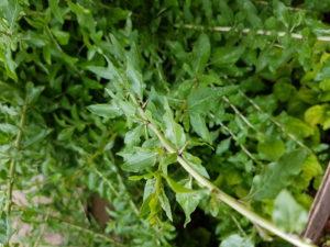 Gau Gei Plant